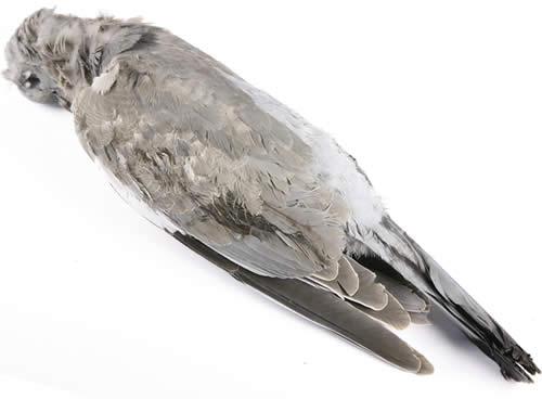 【本格狩猟ジビエ!】ピジョン・ラミエール(毛付)スコットランド産[液体凍結]の画像